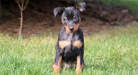 Miniature Pinscher Puppies for sale in Columbus, OH, USA. price: NA