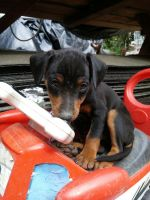 Miniature Pinscher Puppies for sale in Long Beach, CA, USA. price: NA