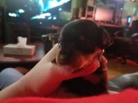Miniature Pinscher Puppies for sale in Reynoldsburg, OH, USA. price: NA