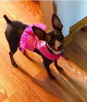 Miniature Pinscher Puppies for sale in Galloway, OH 43119, USA. price: NA