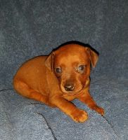 Miniature Pinscher Puppies for sale in Claremont, MN 55924, USA. price: NA