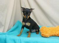 Miniature Pinscher Puppies for sale in Honolulu, HI 96802, USA. price: NA