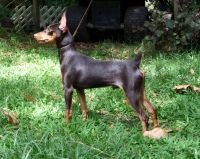 Miniature Pinscher Puppies for sale in Corning, CA 96021, USA. price: NA