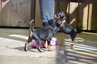 Miniature Pinscher Puppies for sale in Edison, NJ, USA. price: NA