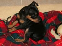Miniature Pinscher Puppies for sale in Boston, MA 02114, USA. price: NA