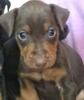 Miniature Pinscher Puppies for sale in Denmark, WI 54208, USA. price: NA