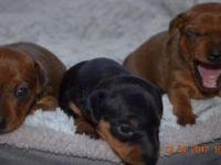 Miniature Pinscher Puppies for sale in Pasadena, CA 91101, USA. price: NA