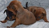 Miniature Pinscher Puppies for sale in Bloomfield Ave, Bloomfield, CT 06002, USA. price: NA