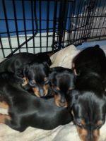 Miniature Pinscher Puppies for sale in FL-436, Casselberry, FL, USA. price: NA