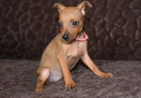 Miniature Pinscher Puppies for sale in Mound, MN 55364, USA. price: NA