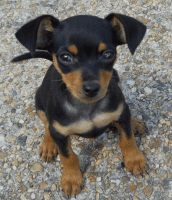 Miniature Pinscher Puppies for sale in Las Vegas, NV, USA. price: NA