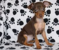 Miniature Pinscher Puppies for sale in West Lafayette, IN, USA. price: NA