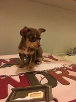 Miniature Pinscher Puppies for sale in N Decatur Blvd, Las Vegas, NV, USA. price: NA