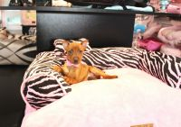 Miniature Pinscher Puppies for sale in Fort Lauderdale, FL, USA. price: NA