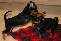 Miniature Pinscher Puppies for sale in Dallas, TX 75207, USA. price: NA
