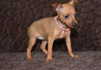 Miniature Pinscher Puppies for sale in Rye, CO 81069, USA. price: NA