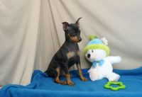 Miniature Pinscher Puppies for sale in Sandusky, OH 44870, USA. price: NA