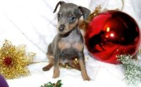 Miniature Pinscher Puppies for sale in Taylorsville, UT, USA. price: NA