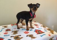 Miniature Pinscher Puppies for sale in Chicago, IL, USA. price: NA