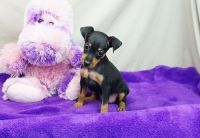Miniature Pinscher Puppies for sale in San Diego, CA, USA. price: NA