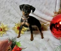 Miniature Pinscher Puppies for sale in Goldsboro, NC, USA. price: NA