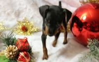 Miniature Pinscher Puppies for sale in Adamstown, PA, USA. price: NA