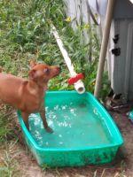 Miniature Pinscher Puppies for sale in Ocala, FL, USA. price: NA