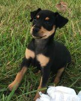 Miniature Pinscher Puppies for sale in Orangeburg, SC, USA. price: NA