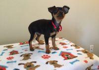 Miniature Pinscher Puppies for sale in Honolulu, HI, USA. price: NA