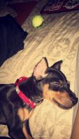 Miniature Pinscher Puppies for sale in Dolton, IL, USA. price: NA