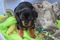Miniature Pinscher Puppies for sale in Toms River, NJ, USA. price: NA