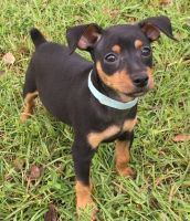 Miniature Pinscher Puppies for sale in Richmond, VA, USA. price: NA
