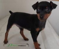 Miniature Pinscher Puppies for sale in New York, NY, USA. price: NA