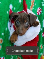 Miniature Pinscher Puppies for sale in Cambridge, OH, OH, USA. price: NA