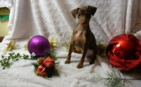 Miniature Pinscher Puppies for sale in Bowling Green, KY, USA. price: NA