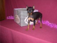 Miniature Pinscher Puppies for sale in St Clair, MI 48079, USA. price: NA