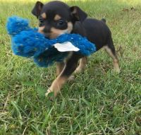Miniature Pinscher Puppies for sale in Caldwell, ID 83605, USA. price: NA