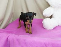 Miniature Pinscher Puppies for sale in Baton Rouge, LA 70836, USA. price: NA