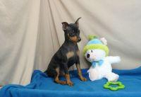 Miniature Pinscher Puppies for sale in Manhattan Beach, CA 90266, USA. price: NA