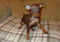 Miniature Pinscher Puppies for sale in Warren, MI, USA. price: NA