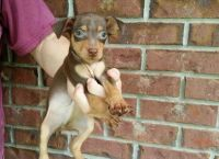 Miniature Pinscher Puppies for sale in Centreville, VA, USA. price: NA