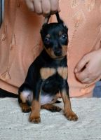 Miniature Pinscher Puppies for sale in Pewaukee, WI, USA. price: NA