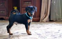 Miniature Pinscher Puppies for sale in Cheyenne, WY, USA. price: NA