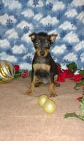 Miniature Pinscher Puppies for sale in Pell City, AL, USA. price: NA
