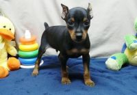 Miniature Pinscher Puppies for sale in Charleston, WV, USA. price: NA