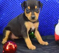 Miniature Pinscher Puppies for sale in Miami, FL, USA. price: NA