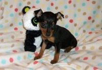 Miniature Pinscher Puppies for sale in Minneapolis, MN, USA. price: NA