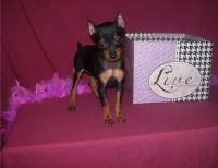 Miniature Pinscher Puppies for sale in Morgan City, MS, USA. price: NA