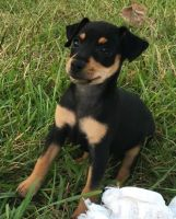 Miniature Pinscher Puppies for sale in Williamsport, PA, USA. price: NA