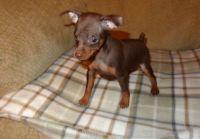 Miniature Pinscher Puppies for sale in Santa Monica, CA, USA. price: NA